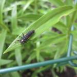 ladybuglarva 004