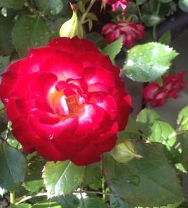 Never Alone Rose_Brian Duncan's garden