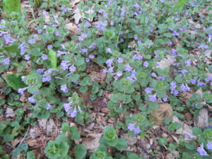 What Kind Of Weed Has Small Purple Flowers - Flowers Healthy