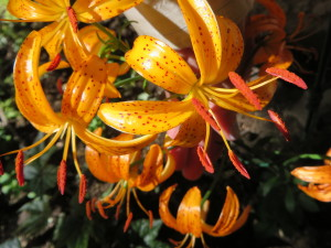 All About Lilies - Charleswood Garden Club