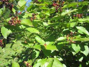 Viburnum rafinesquianum