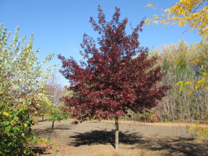 Shooting_Star_Oak_Fall_Tree
