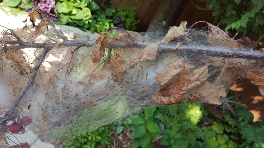 fallwebwormThunderchild tree_image 1