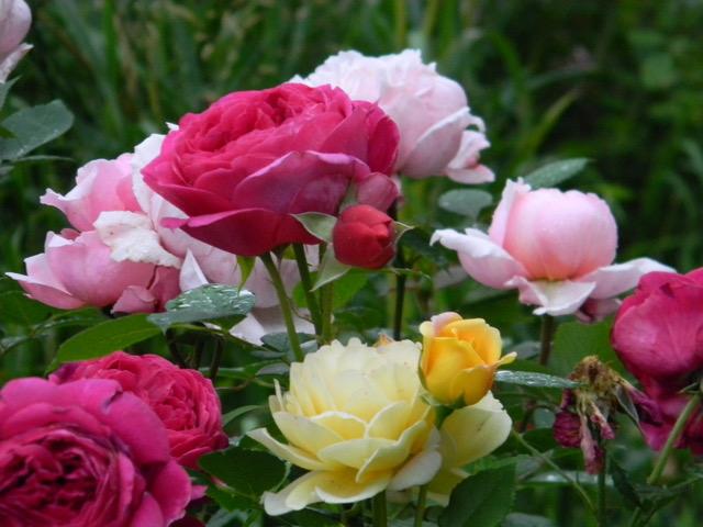 Growing Roses on the Prairies @ Zoom meeting online